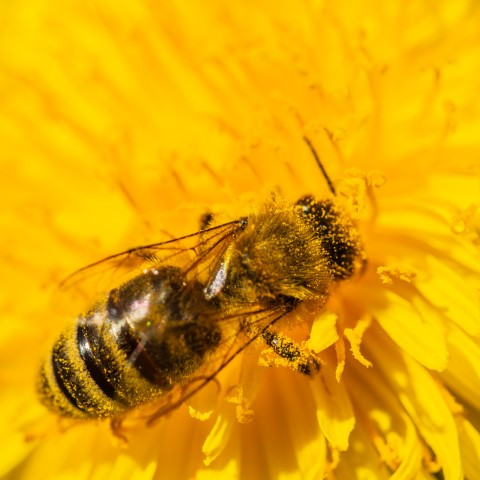Bees are worlwide the most important pollen insects